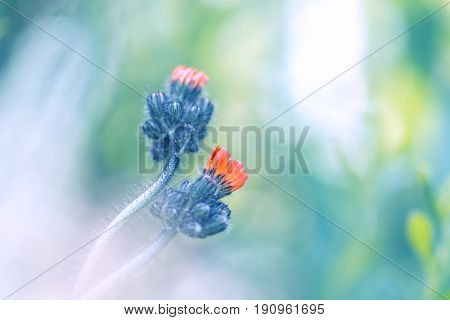 Small orange flowers Hieracium on a gentle background . The flowers are gently entwined.Beautiful flowers