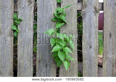 Green Bush Growing Through The Wooden Fence
