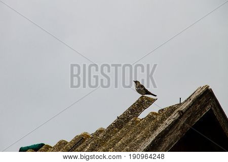 European Cuckoo (Cuculus canorus) on a roof