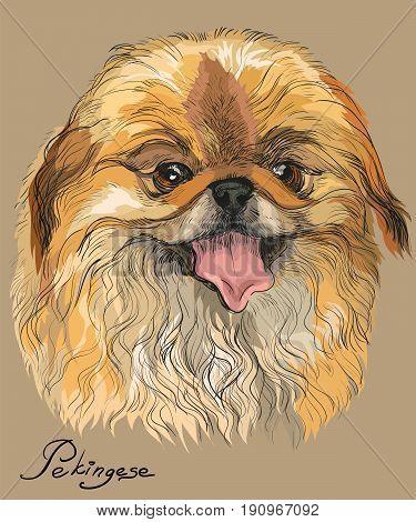 Vector colored portrait of Pekingese dog hand drawing Illustration on beige background