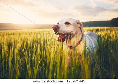 Dog In Cornfield At The Sunrise