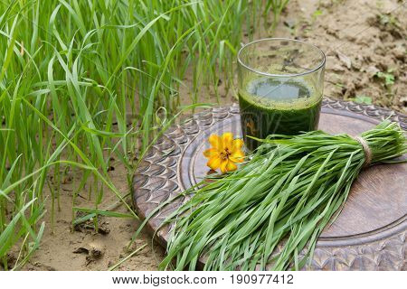 Glass of wheatgrass juice on a brown wooden table with fresh wheat herbs against the background of a green wheat grass