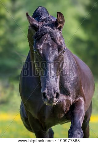 Black horse runs gallop on the meadow on green grass in summer