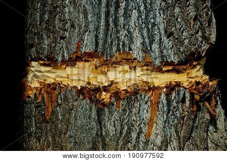 tree coarse old bark texture surface chopped or cut by lumberer or beaver animal on natural wood trunk on brown timber background. Woodwork. Logging. Building and construction. Forest devastation