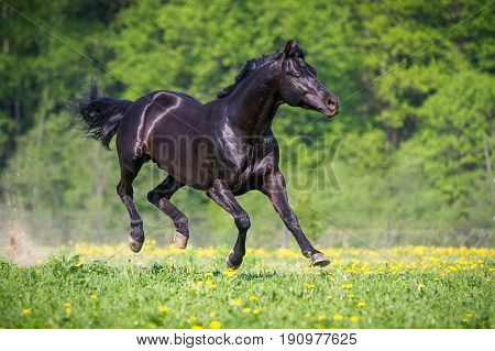 Black horse playing and runs gallop on the meadow on green grass in summer