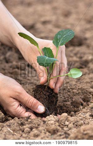hands of gardener planting seedling of cabbage in the vegetable garden