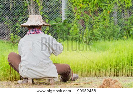 back of asian male farmer with Thai traditional hat working paddy cultivation in the rice field Thailand