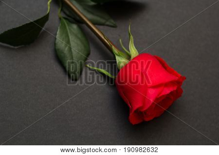 red rose on a black background. top view