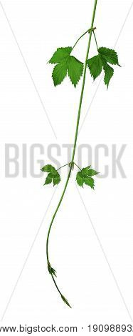 Branches of hops with leaves and buds isolated on white background without shadow. Close-up. Brewing. Medicinal herbs. Ingredients.