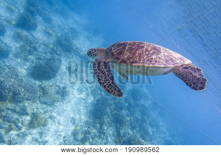 Sea turtle dives blue water. Snorkeling with tortoise. Wild green turtle in tropical lagoon. Sea ecosystem with animals and seaweeds. Oceanic environment. Marine wildlife protected. Endangered species