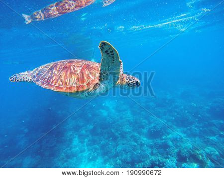 Green turtle in blue water. Seashore lagoon and tortoise. Wild green turtle in tropical lagoon. Sea ecosystem with animals and seaweeds. Sea shore animal. Tropical marine wildlife. Endangered species