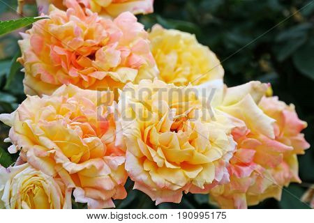 Lovely orange yellow roses fully open closeup