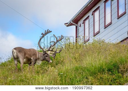 Reindeer with antlers eating grass outside house in village, Finnmark, Norway