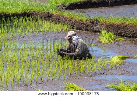 Dumaguete Philippines - 1 May 2017: A man sows the field with rice. Traditional rice growing in paddles. Asian farmer planting rice. Rice paddle with green grass. Eco food farming. Asia travel photo