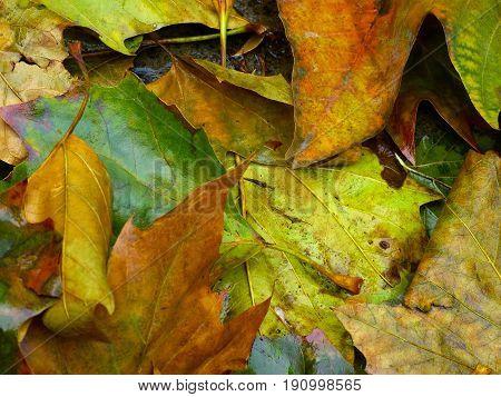 Close up of colorful wet leaf litter