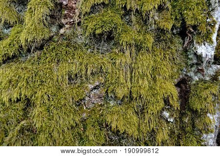 Long green moss on an old tree in a gloomy forest in the spring