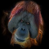 Portrait of very old Asian orangutan on black background male poster