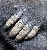 Hand of Gorillas are the largest extant species of primates. They are ground-dwelling, predominantly herbivorous apes that inhabit the forests of central Africa. Gorillas are divided into two species. poster
