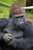 Gorillas are the largest extant species of primates. They are ground-dwelling, predominantly herbivorous apes that inhabit the forests of central Africa. poster