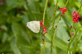 Lemon Emigrant (Form-crocale) butterfly is feeding on red snakeweed (Stachtarpheta indica) plant poster