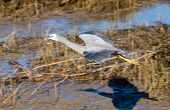 Wingspan of White-face heron as it glides over marshes waters with a wonderful shadow. poster