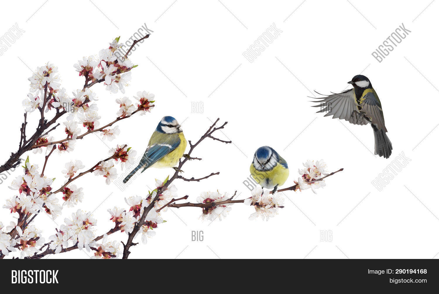 Three Tits Cherry Tree Image Photo Free Trial Bigstock
