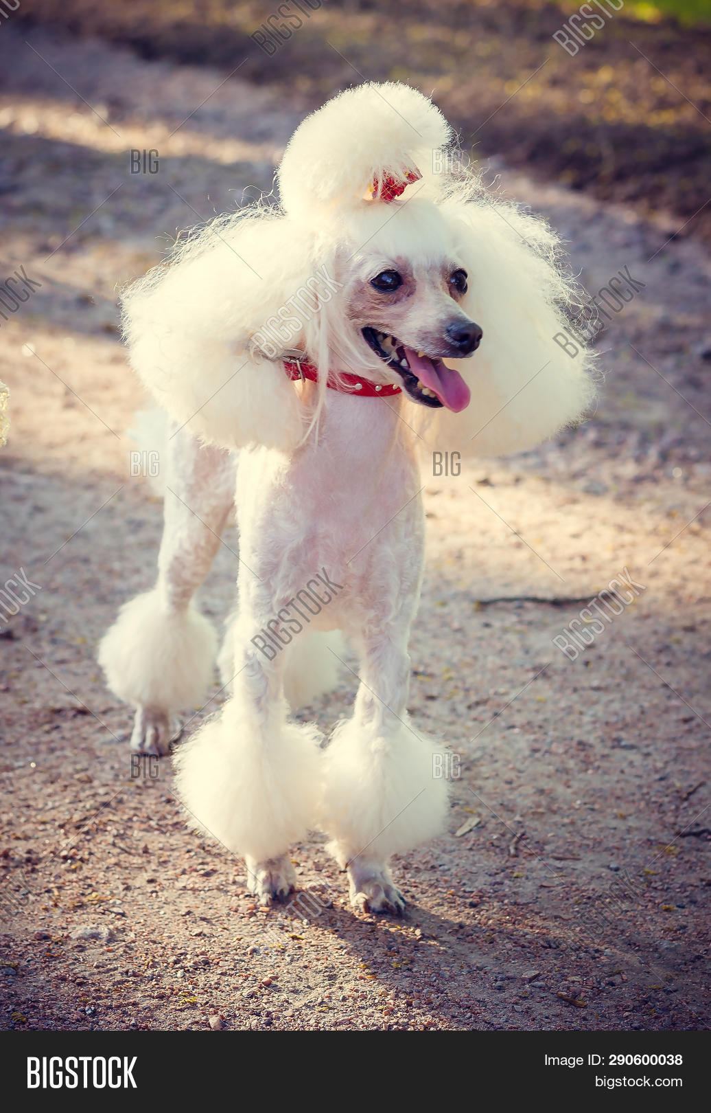 Fantastic Dog Poodle Haircut Image Photo Free Trial Bigstock Natural Hairstyles Runnerswayorg