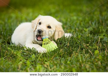 Very Young Puppy Golden Retriever Dog Lays On Grass Covered Field, And Plays With Badminton Ball.