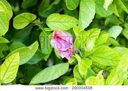 Close-up Shot Of Pink Hibiscus Flower On A Branch Among The Leaves