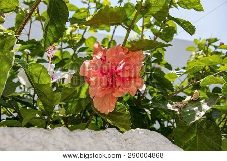 Close-up Shot Of Peach Color Hibiscus Flower On A Branch Among The Leaves