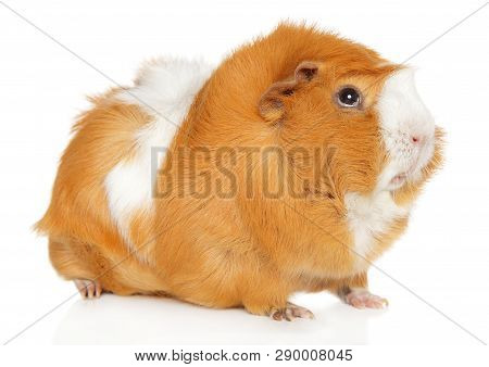 Portrait Of A Redhead Guinea Pig On A White Background, Animal Themes