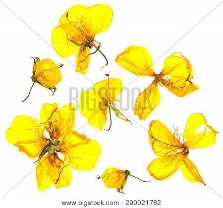 Eschscholzia Californica Cup Gold Dry Flowers In Bloom, Orange Pressed Petals. Flat Yellow Nasturtiu
