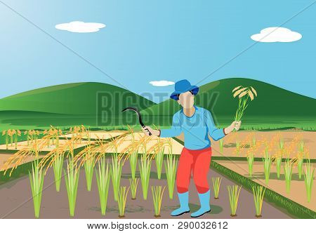 Farmer Harvest Rice In Paddy Field At Countryside