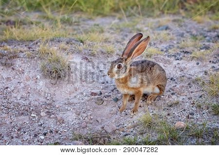 African hare, Lepus capensis, also known as the Cape or Desert hare, in Amboseli National Park, Kenya. This herbivore is mostly nocturnal.