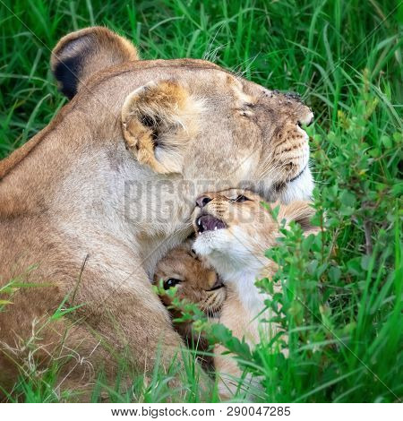 Lioness with, a little of young cubs, in the Masai Mara, Kenya. She is protecting the cubs by keeping them hidden in the cool, long grass.