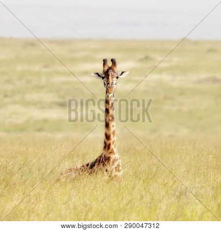 Masai Giraffe sitting in the soft long grass of the Masai Mara, Kenya. This species of giraffe is the tallest animal in the world.