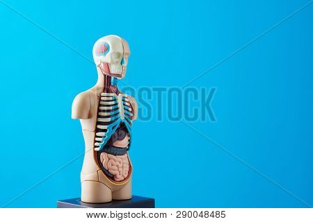 Anatomical Model Of Human Body With Internal Organs On Blue Background. Anatomy Body Mannequin