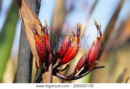 New Zealand Flax Or Harekeke In Flower Close-up Bokeh Background And Dew Drops On Pollen And Anther.