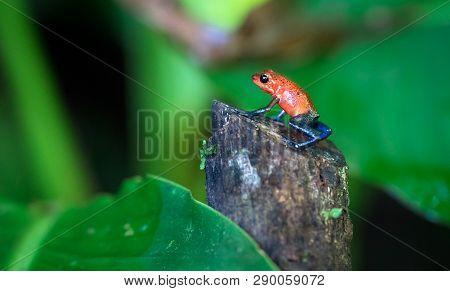 Blue jeans poison dart frog (Oophaga pumilio) near Puerto Viejo de Sarapiqui, Costa Rica. poster