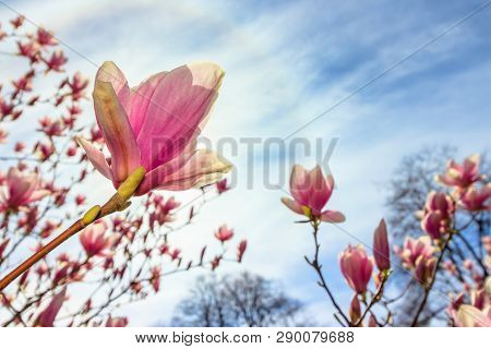 Magnolia Tree In Blossom. Beautiful Purple Flower Close Up. Background With Blue Sky, Clouds And Rai