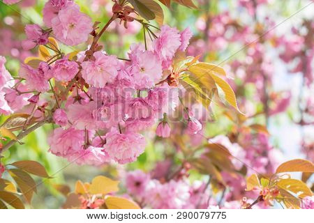 Sakura Tree In Blossom. Beautiful Pink Flower Close Up. Background With Blurred Garden. Sunny Mornin