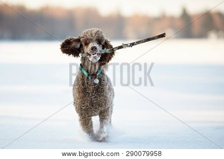 Standard Poodle Running And Enjoying The Snow On A Beautiful Winter Day. Playful Dog In Action With