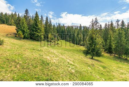 Beautiful Springtime Landscape In Mountains. Spruce Trees On The Grassy Slope. Sunny Weather With Cl