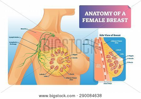 Breast Anatomy Vector Illustration. Labeled Medical Female Organ Structure. Infographic Diagram With