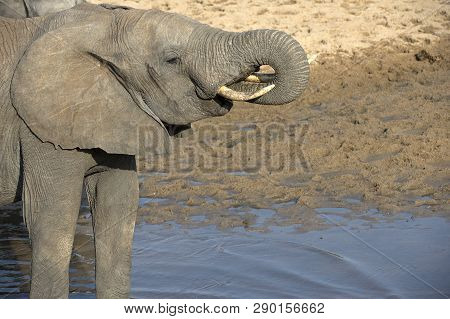 Young Elephants Standing In Water, Drinking Water, With Tusk Curled Into Mouth, Showing Small Ivory