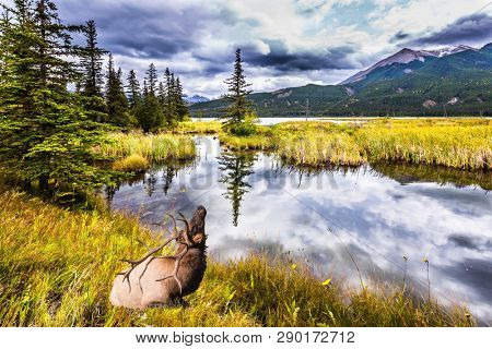 Rocky Mountains of Canada. Rain clouds hover over the valley along the Pocahontas road. Deer with horns resting on the lake. Concept of ecological, active and photo-tourism