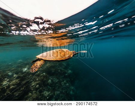 Big Sea Turtle Floating Underwater Close To Surface Of Water Over Coral Reef, Moalboal, Cebu Islands