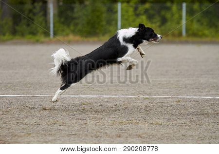 Border Collie Jumping On An Agility Training On A Dog Playground.
