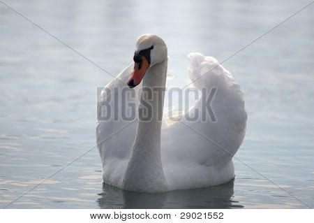 Elegant white swan in a pond