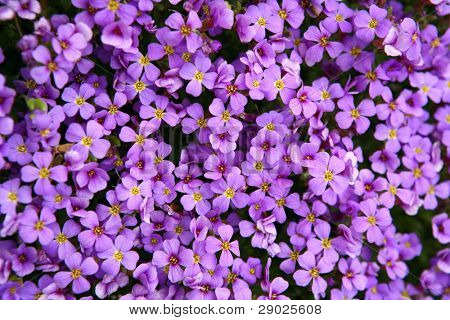 Purple flower carpet